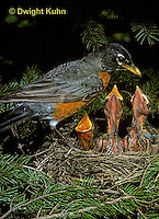 RO05-011z  American Robin - adult with young at nest - Turdus migratorius