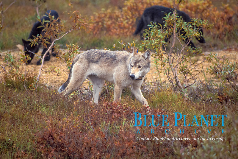 gray wolf, Canis lupus, male with radio collar for scientific research, pack during the fall in Denali National Park, interior of Alaska