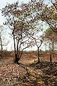 Xingu Indigenous Park, Mato Grosso, Brazil. Aldeia Matipu. Sparse cerrados vegetation.