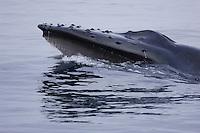 Humpback whales Megaptera novaeangliae Lunge feeding showing hanging Baleen plates from uppe Jaw. Kvitøya, Arctic ocean