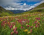 San Juan Mountains, CO<br /> Pink hues of rose paintbrush (Castilleja rhexifolia) in an alpine wildflower meadow with yellow flowering alpine avens (Geum rossii) and bistort (Bistorta bistortoides) on Stony Pass