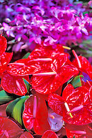 Colorful anthuriums at the Hilo open market
