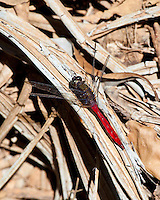 Dragonfly, Daintree NP, Queensland, Australia