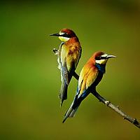 Bienenfresser, Merops apiaster, bee-eater, European bee-eater, Le Guêpier d'Europe
