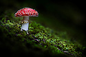 Fly Agaric {Amanita muscaria} toadstool growing in coniferous woodland. Nordtirol, Tirol, Austrian Alps, Austria, August.