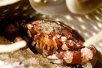 Harlequin swimmer crab, lissocarcinus laevis