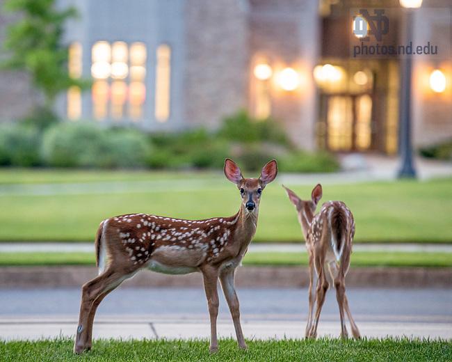 July 3, 2020; Deer pause near McCourtney Hall. (Photo by Matt Cashore/University of Notre Dame)