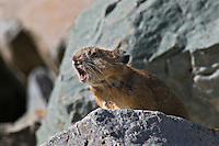 Pika (Ochotona princeps) in alpine rock pile making warning call.  Pacific Northwest.  Summer.