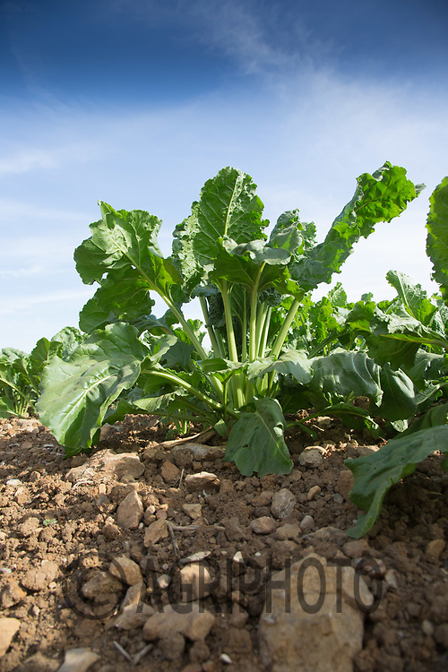 Sugar beet plant<br /> Picture Tim Scrivener 07850 303986<br /> ….covering agriculture in the UK….
