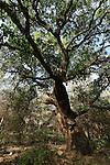 Israel, Wadi Iron. Mount Tabor Oak tree (Qyercus Ithaburensis) in Hurbat Abbas