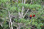 Pair of scarlet macaws , Tambopata River, Peru