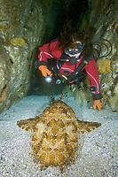 ornate wobbegong, Orectolobus ornatus, or Gulf wobbegong or banded wobbegong, Orectolobus halei, and woman scuba diver, Fish Rock, South West Rocks, New South Wales, Australia