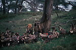 Spotted Hyenas feeding with a large group of vultures.