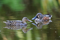 Australian Shoveler (Spatula rhynchotis), female and male swimming in a pond in Queens Park, Invercargill, Southland, New Zealand.