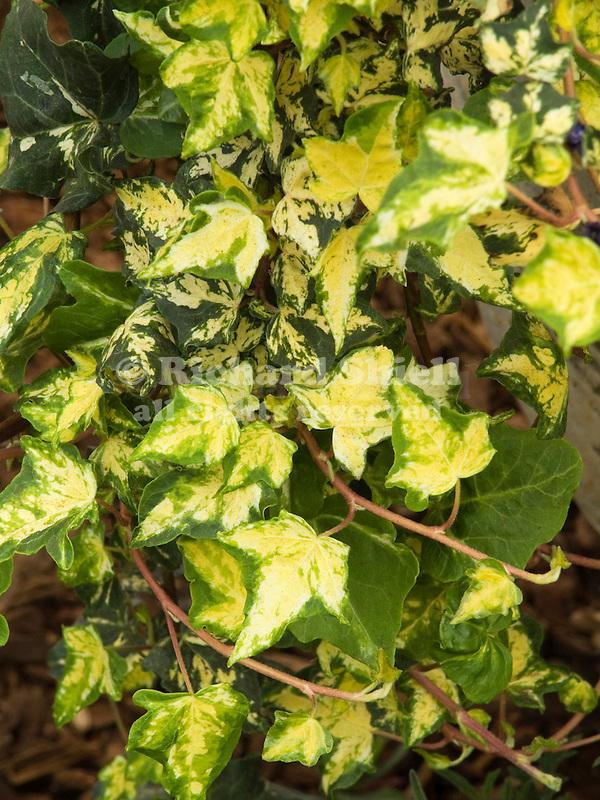 Midas Touch or 'Golden Kolibri' English Ivy, Hedera helix
