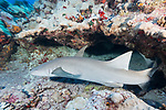 Toau Atoll, Tuamotu Archipelago, French Polynesia; a tawny nurse shark swimming over the sandy bottom amongst caverns in the coral reef