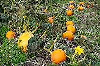 Pumpkin Patch, Connecticut