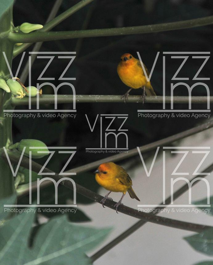 CALI - COLOMBIA, 30-06-2016: Canario Comun, especie de ave presente en el norte de Cali. / Canario Comun, bird species present in north of Cali Photo: VizzorImage / Luis Ramirez / Staff.