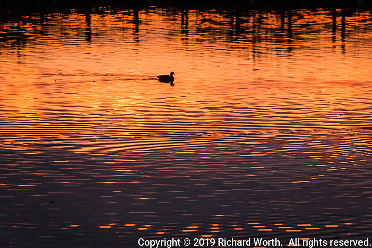 A water bird paddles through the sunset-painted lagoon dubbed 'The Duck Pond' at a neighborhood park.