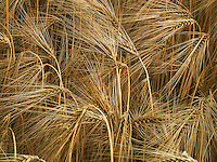 Wheat close up -- pattterns like sparklers