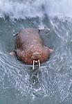 Walrus, Cape Peirce, Togiak National Wildlife Reserve, Alaska