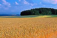 Plantação de trigo no interior da Suíça. 1998. Foto de Stefan Kolumban.