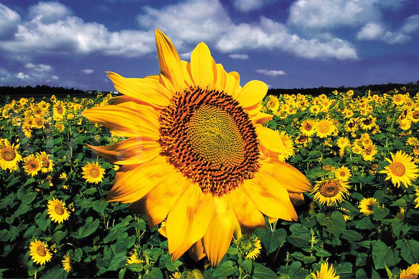 Sunflower, Uncommon Growth