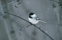 Black-capped Chickadee, Poecile atricapilla,adult, Homer, Alaska, USA, March 2000