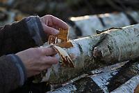 Sammeln von Birkenrinde für Räucherung, Rinde, Räuchern, Hänge-Birke, Sand-Birke, Birke, Hängebirke, Sandbirke, Weißbirke, Betula pendula, European White Birch, Silver Birch, warty birch, rind, bark, Le bouleau verruqueux, bouleau blanc