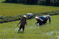 Setzen von Reispflanzen in Zentralvietnam, Vietnam