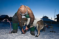 Rookie Dan Kaduce takes the booties off his dogs shortly after checking into the Kaltag checkpoint as dawn breaks during the 2010 Iditarod