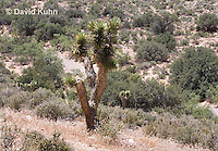 0316-1103  Joshua Tree (Yucca Tree), Mojave Desert and Great Basin, Yucca brevifolia  © David Kuhn/Dwight Kuhn Photography
