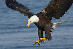 A bald eagle fishing in Homer, Alaska.