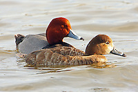 Redhead pair in breeding plumage