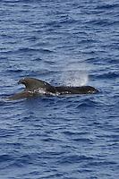 Short finned Pilot whale Globicephala macrorhynchus spouting on surface. Tenerife, Canary Islands, Spain