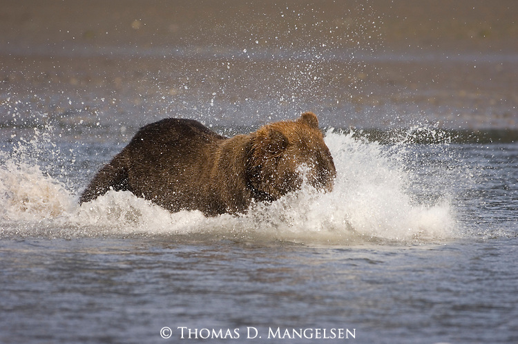 Brown bear chasing and catching salmon near the mouth of Silver Salmon Creek in Lake Clark National Park, Alaska.
