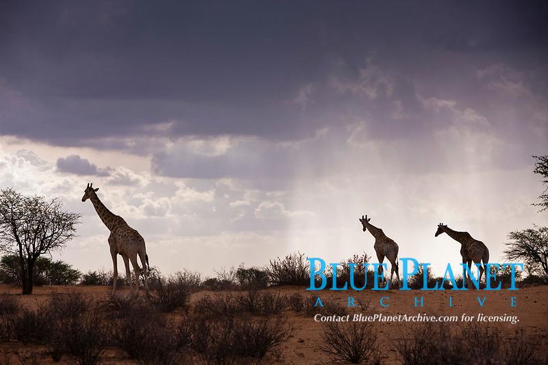 Angolan giraffe, Giraffa camelopardalis angolensis, in Kalahari Desert, Kalahari Basin, Namibia, Africa