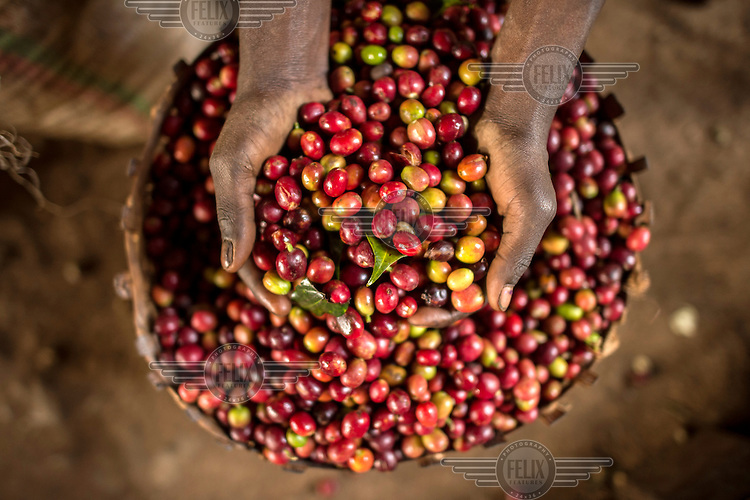 A handful of coffee cherries, the fruit that contains the coffee beans, at a small farm in the village of Hafursa. /Felix Features