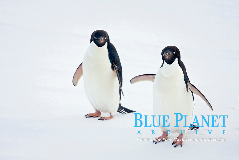 Adult Adelie penguins (Pygoscelis adeliae) on the ice floes below the Antarctic circle, Antarctica.