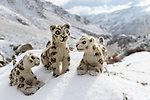 Felt snow leopard toys made by villagers. Part of a broader eco tourism initiative to augment their income and change local attitudes towards snow leopards. Ulley Valley, Himalayas, Ladakh, northern India.