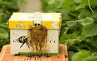 Wie beeinträchtigt der starke Regen Sachsens Obst- und Gemüsebauern - BILD fragte einmal nach - im Bild: Der Spargelhof Kyhna bei Delitzsch - im 1 ha großen Erdbeer Gewächshaus wird bereits fleißig gepflückt - die Hummelvölker im Gewächshaus sind besonders wichtig für die Befruchtung der Blüten.  Foto: Norman Rembarz