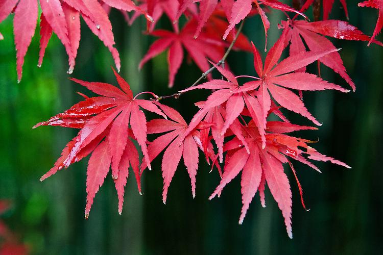 Autumn foliage of Acer palmatum 'Shojo-shidare', early November.