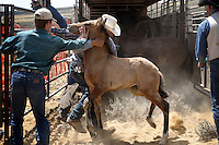 Young mustang foals are loaded onto a truck for a trek to a holding facility 50 miles away in Rock Springs, Wyoming.  BLM gathered horses in Divide Basin off of Bar X Road, attempting to round up nearly 500 horses because of a lawsuit filed.  Helicopters bring the horses to a jute fence with wings and a Judas horse lures them into the trap.