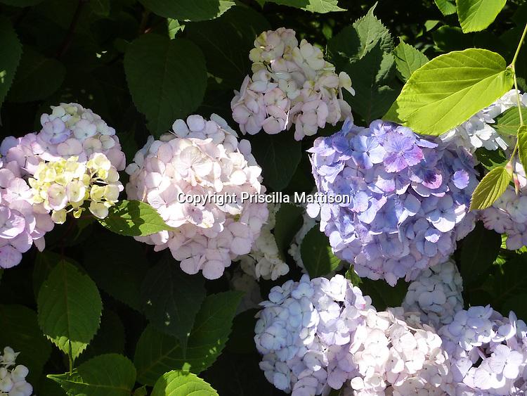 Bright sun falls on a lavender-flowering hydrangea bush.
