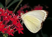 "ASCIA MONUSTE, """"Great Southern White"""" Butterfly, feeding on red Pentas lancelata, Subfamily - Pierinae;  Family - Pieridae; Order - Lepidoptera; Class - Insecta. Audubon Zoo, New Orleans, LA, USA. NEW ORLEANS LA USA AUDUBON ZOO."