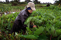 Gladys Kanoa harvests taro leaves on the farm that has been worked by her husband's <br /> family for seven generations in Maui. The plants are healthy, but it is a constant battle to <br /> keep them from being effected by the golden apple snail.