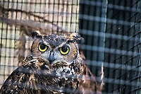 A Great horned owl glares through the mesh of its cage where it is being treated at the Sulphur Creek Nature Center in Hayward, California.