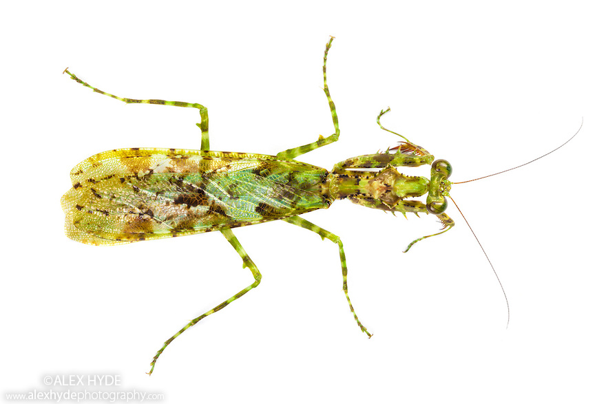 Praying mantis {Majangella moultoni} with moss-like markings that camouflage it in its rainforest surroundings. Photographed on a white background in mobile field studio in tropical rainforest. Danum Valley, Sabah, Borneo, Malaysia.