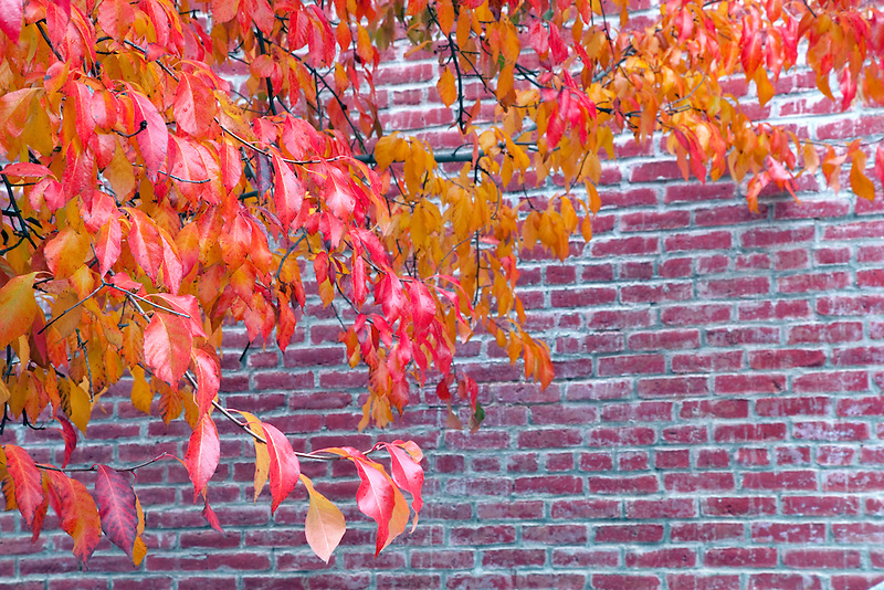 Fall color next to brick building. Jacksonville, Oregeon