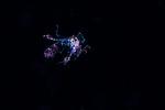 Phronima with Food , Black Water diving over Gulfstream Current; Florida Atlantic Diving; Plankton; SE Florida Atlantic Ocean off West; Palm Beach; larval fish; marine life; pelagic creatures; pelagic larval marine life; vertical migration marine creatures